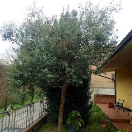 curadelverde.com-cura-del-verde-macerata-treeclimbing-potatura-alberi-alto-fusto-fruttiferi-alberi-da-frutto-olivi-viti-vigna-siepi-giardinaggio-man.giar.ssm.024