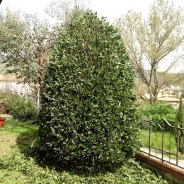 curadelverde.com-cura-del-verde-macerata-treeclimbing-potatura-alberi-alto-fusto-fruttiferi-alberi-da-frutto-olivi-viti-vigna-siepi-giardinaggio-man.giar.ssm.029