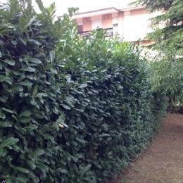 curadelverde.com-cura-del-verde-macerata-treeclimbing-potatura-alberi-alto-fusto-fruttiferi-alberi-da-frutto-olivi-viti-vigna-siepi-giardinaggio-Treeclimbing-Siepe01