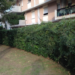 curadelverde.com-cura-del-verde-macerata-treeclimbing-potatura-alberi-alto-fusto-fruttiferi-alberi-da-frutto-olivi-viti-vigna-siepi-giardinaggio-Treeclimbing-Siepe04