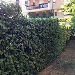 curadelverde.com-cura-del-verde-macerata-treeclimbing-potatura-alberi-alto-fusto-fruttiferi-alberi-da-frutto-olivi-viti-vigna-siepi-giardinaggio-Treeclimbing-Siepe1a