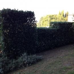 curadelverde.com-cura-del-verde-macerata-treeclimbing-potatura-alberi-alto-fusto-fruttiferi-alberi-da-frutto-olivi-viti-vigna-siepi-giardinaggio-Treeclimbing-Siepe8a