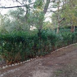curadelverde.com-cura-del-verde-macerata-treeclimbing-potatura-alberi-alto-fusto-fruttiferi-alberi-da-frutto-olivi-viti-vigna-siepi-giardinaggio-tam1.13'