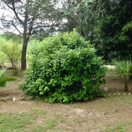 curadelverde.com-cura-del-verde-macerata-treeclimbing-potatura-alberi-alto-fusto-fruttiferi-alberi-da-frutto-olivi-viti-vigna-siepi-giardinaggio-tam1.20