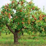 curadelverde.com-cura-del-verde-macerata-treeclimbing-potatura-fruttiferi-alberi-da-frutto-macerata