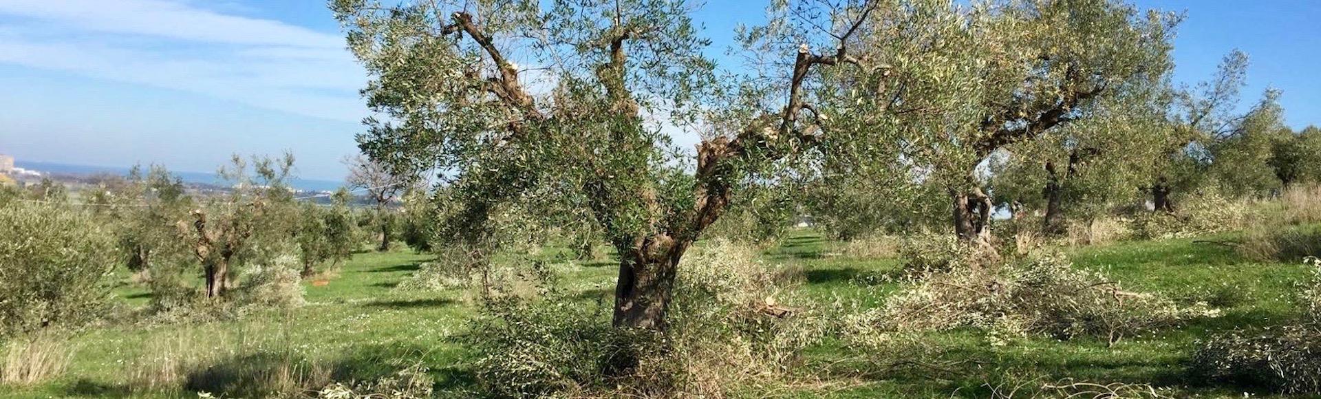 Alberi da giardino alto fusto for Potatura alberi da frutto