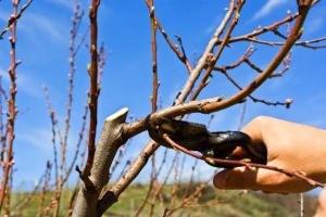 curadelverde.com-cura-del-verde-macerata-treeclimbing-potatura-alberi-alto-fusto-quando potare 2