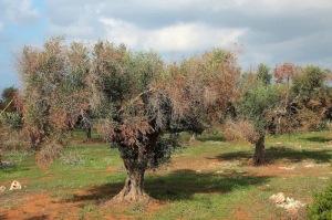 curadelverde.com-cura-del-verde-macerata-treeclimbing-potatura-xylella 2